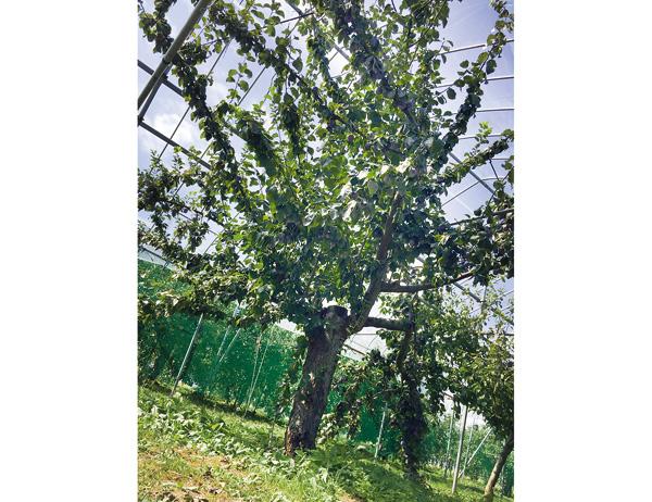 生食用プルーンの樹 プレジデント