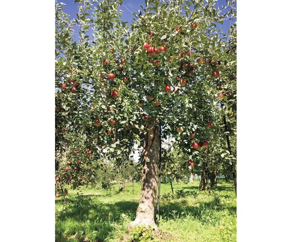 りんごの樹 紅玉